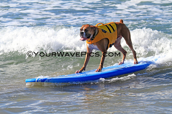 Surf City Surf Dog surf contest 9/29/13